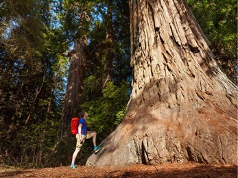 California Redwood Tree