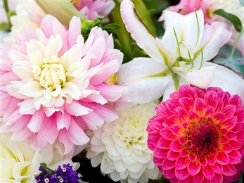 Flowers dahlias