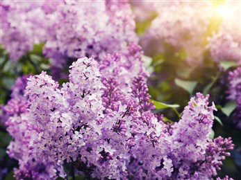 photo of lilacs